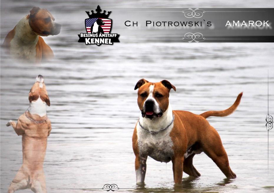 american staffordshire terrier züchter